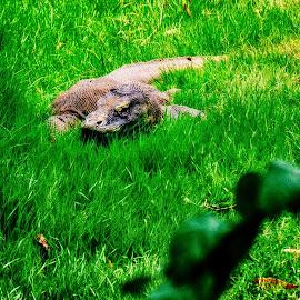 Comodo by Billy Pandean - Animals Reptiles ( street, comodo, photo, photography, animal )
