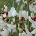 White Weeping Broom (Εχίνωπας)