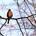 The Chaffinch