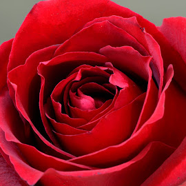 Roses are red.. by Bassim Mahmoud - Nature Up Close Other plants ( #d800, #romance, #macro, #red, #rose )