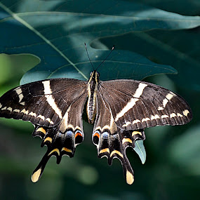 Vuelo de mariposa by Lidia Noemi - Animals Insects & Spiders ( mariposa, mariposario, botanico, santo domingo, republica dominicana,  )