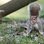 Squirrel by Erik Pettinari - Animals Other Mammals ( scoiattolo, italy, squirrel )