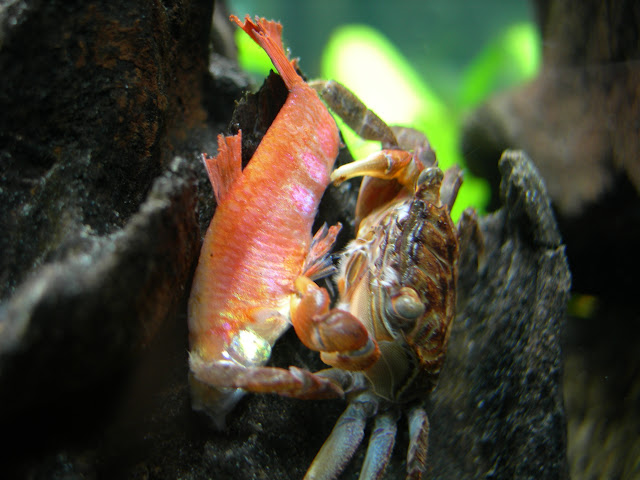 Red Claw Crab with Fish? - Page 2 - Practical Fishkeeping Forum