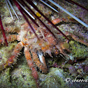 Common Decorator Crab