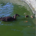 Pacific Black Duck and ducklings