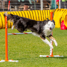 Agility dog by Kerry Perkins - Animals - Dogs Running ( dogs, dogs playing, dogs running, dog show, agility )