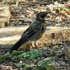 American robin (juvenile)