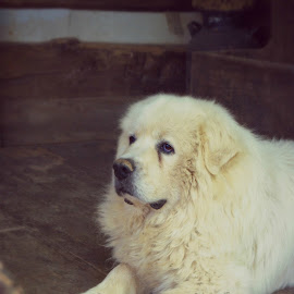 Shaggy  by Jessica Williams Bender - Animals - Dogs Portraits ( big dog sitting on porch, white dog,  )