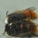 Hornfaced Bee