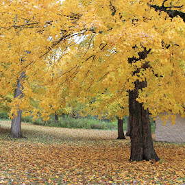 fall colors by Christine Bartlett Csiszer - Nature Up Close Trees & Bushes ( fall, color, colorful, nature )