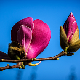 Magnolia by Stanislav Horaček - Nature Up Close Trees & Bushes