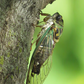 Cicada by Cindy Cooper Houser - Animals Insects & Spiders ( bugs, bug, cicadas, cicada, insects, insect, animal )