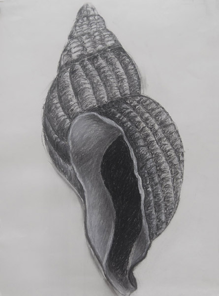 Shell # 2 <br> Charcoal on paper <br> 24 x 18 in