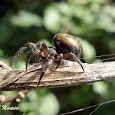 Spiders from Parana, Brazil / Aranhas do Parana