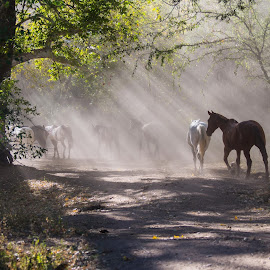 Good horses by Mike O'Connor - Animals Horses ( ranch, shafts, horses, sunlight, godrays,  )