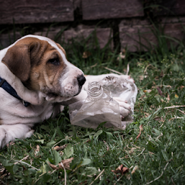 Duke by Jacquiline Van Ghent - Animals - Dogs Puppies ( puppy, bottle, dog )