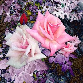 Sweetness by Deborah Arin - Digital Art Things ( abstract, purple, dramatic, roses, pink )