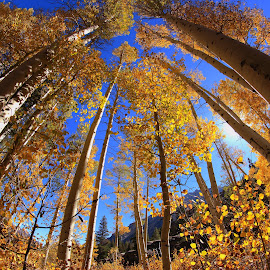Reaching for the fall sky by Kristen Kabrin - Landscapes Forests ( fisheye, fall colors, trees, forest, aspen )