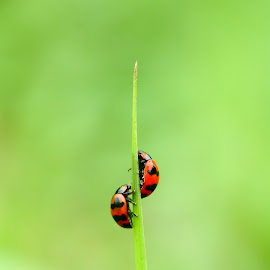 race you to the top by Ahmad Omar - Animals Insects & Spiders ( macro, nature, wildlife, insect, canon eos, beetle )