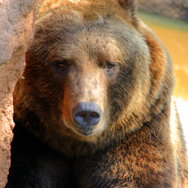 Bear by Sean Price - Animals Other Mammals ( bear, hdr, zoo, sleepy, portrait )
