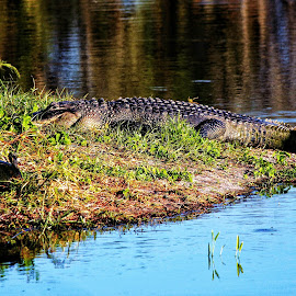 A Resting Gator by Florent Alezi - Animals Reptiles