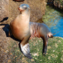 California Sea Lion (Female)