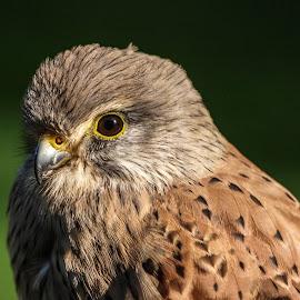 Kestrel by Garry Chisholm - Animals Birds ( bird, garry chisholm, nature, wildlife, falcon, raptor, prey, kestrel, hawk )