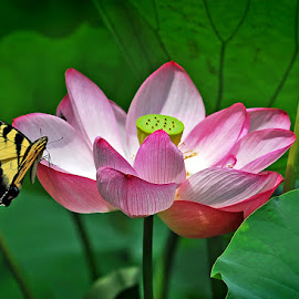 The Lotus and the Butterfly by Dom J Manalo - Flowers Single Flower ( tiger butterfly, lotus, lotuses, aquatic gardens, swallowtail, kenilworth gardens )