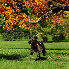 Fall Frolic  by Christine Chambers - Animals - Dogs Running ( happy, pet, schnauzer, fall, dog, running,  )
