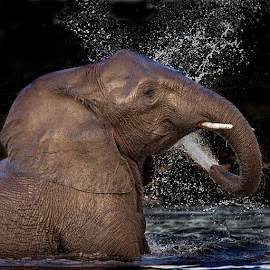 The Golden Elephant by Lourens Lee Wildlife Photography - Animals Other Mammals ( elephant, wildlife, big 5, africa,  )