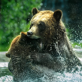 Bear Claw by Rick Stufflebean - Animals Other Mammals ( bear, water, sony, a77, spray, 70-400, fight, bite, bears )
