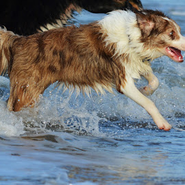 by Veerle Melkebeke - Animals - Dogs Running