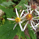 Sharp-leaved aster