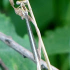 White Featherleg Damselfly