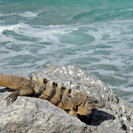 Iguana and Ocean by Greg VandeLeest - Animals Reptiles ( lizard, mexico, iguana, ocean, ctenosaura pectinata )