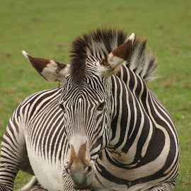 Stripes by Garry Chisholm - Animals Other Mammals ( horse, zebra, chisholm, garry, mammal )
