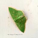 Cosmotola Moth