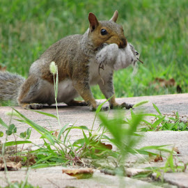 Home repair by Amy McCarty - Animals Other Mammals ( nest, home repair, insulation building, squirrel )