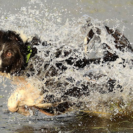 Splash! by Gareth Evans - Animals - Dogs Playing ( water, border collie, splash, dog )