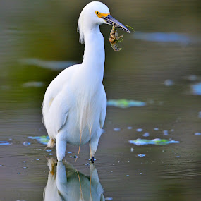 Snowy Egret 1  by Cody Hoagland - Animals Birds ( water, utah, birds, egret )