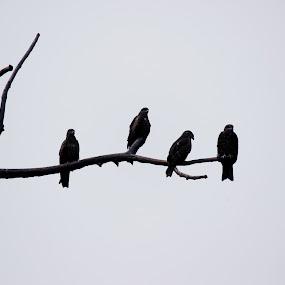 Hawks seating on the dead tree by HeartMonster Ankush - Animals Birds ( tree, camera, art, hawks, dead, light )