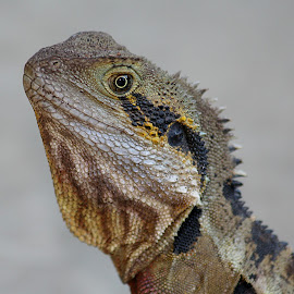 Eastern Water Dragon by Jenny Brice - Animals Reptiles ( lizard, australian native, zoo, eastern water dragon, reptile, australia zoo,  )
