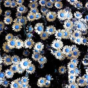 Daisy Blue by Jossip S. - Flowers Flowers in the Wild ( blue, croatia, daisy, surreal, flower,  )