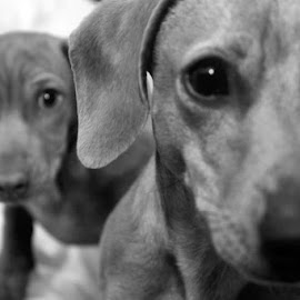 THE BOYS by Jaco Peacock - Animals - Dogs Puppies