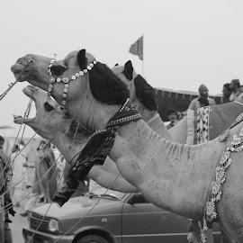 Camels by Junaid Gujjar - Animals Amphibians ( camels, humans, jewelery, decorated, like, dessert,  )