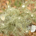 Strigose Beard Lichen