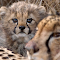 Baby Cheetah with Mommy-Sharpened.jpg