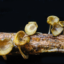Broken by Fran McMullen - Nature Up Close Mushrooms & Fungi ( black background, mushroom, macro, fungi, branch )
