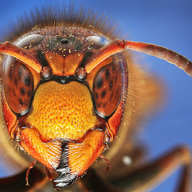 European Giant Hornet  by Jorge Ferreras - Animals Insects & Spiders