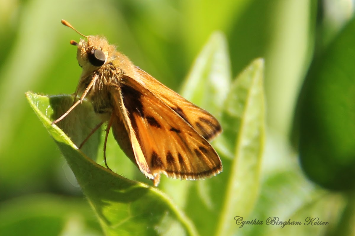 (Male) Fiery Skipper